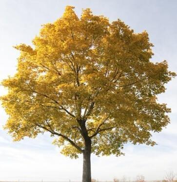 家乡的大杨树,你的爱与我同在